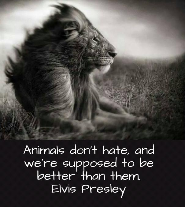 Animals Quotes Beauteous Elvis Presley Quote About Animals And Hate  Awesome Quotes About Life
